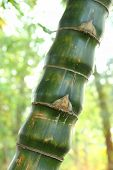 image of bamboo forest  - Close - JPG
