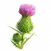 picture of scottish thistle  - Hand drawn vector illustration of a thistle flower and bud with accurate details in realistic style - JPG