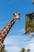 picture of zoo  - giraffe eating in a zoo on a background of blue sky - JPG