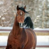 stock photo of bay horse  - The bay arab horse in winter portrait - JPG