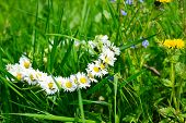 image of chamomile  - wreath of chamomiles in green grass  - JPG