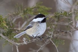 stock photo of chickadee  - Black - JPG