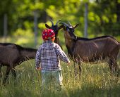 picture of pasture  - Little boy chasing goats on pasture - JPG