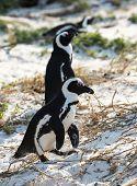 foto of jackass  - African Penguins  - JPG