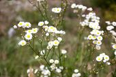 image of wildflowers  - many white wildflowers growing on the lawn - JPG