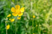 pic of buttercup  - Yellow buttercup flower in natural green surroundings - JPG