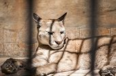 stock photo of zoo  - Puma lying in zoo cage in sunny day - JPG