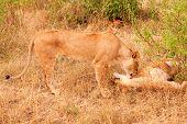 stock photo of grooming  - Two lionesses lying down and enjoying mutual grooming in Masai Mara Kenya - JPG