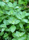 picture of mint-green  - Beautiful delicious green mint photographed close up - JPG
