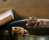 foto of terrarium  - Two Eastern American Toads resting in a terrarium - JPG
