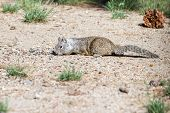 foto of stuffed animals  - small ground squirrel collecting and stuffing into its cheeks nuts and seeds - JPG