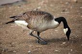 foto of canada goose  - Canada goose  - JPG