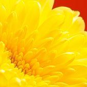 foto of chrysanthemum  - autumn yellow chrysanthemum on red background - JPG