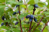 picture of honeysuckle  - honeysuckle bush with ripe berries in the garden - JPG