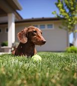 picture of dachshund dog  - a wiener dog dachshund dog playing with a tennis ball  - JPG