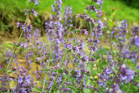 stock photo of catnip  - Catnip flowers  - JPG