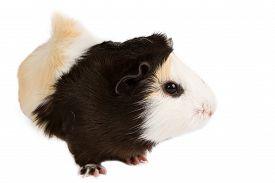 image of pig  - Guinea pig little pet rodent - JPG