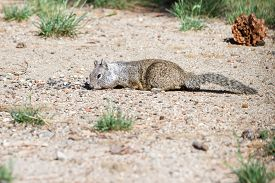 foto of ground nut  - small ground squirrel collecting and stuffing into its cheeks nuts and seeds - JPG
