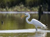 picture of bayou  - great egret wtih fish - JPG