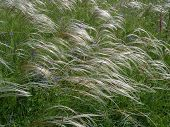 Feather Grass In Steppe