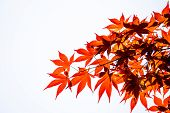 Acer Palmatum, Commonly Known As Palmate Maple, Japanese Maple Or Smooth Japanese-maple Leaves On Wh poster