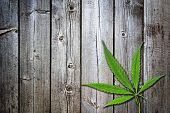 Green Branch Cannabis With  Five Fingers Leaves , Marijuana Isolated On Brown Wood Background, Legal poster