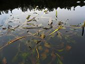 foto of sand lilies  - evening sky and wood is reflected in calm river water - JPG