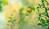 Lemon trees garden, little ripe yellow fruit hanging on the tree branch over blurry background, harv poster