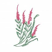 Heather Or Ling Tender Flower Hand Drawn On White Background. Detailed Drawing Of Flowering Herbaceo poster
