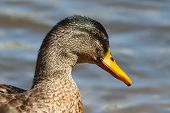 A Mallard Drake In Its Eclipse Camouflage Plumage poster