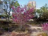 Bush Of Blossoming Pink Lilac In Aktau. poster