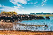 Herd Of African Cape Buffalo Drinking From Chobe River, Botswana Safari Wildlife poster