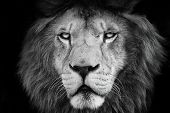 Portrait Lion With Black And White Colour. Face Lion. Lion Look At The Camera.photographs From The A poster