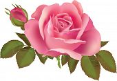 picture of pink rose  - Pink rose  illustration - JPG