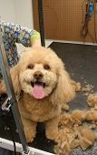 pic of hair cutting  - Apricot poodle expressing happiness during his haircut - JPG
