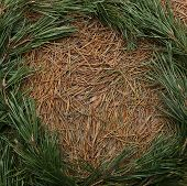 Dried Pine Needles Texture Background With Border Of Green Pine Branches. Abstract Pine Needles Fall poster