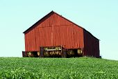 picture of tobacco barn  - Red barn in green field with hanging tobacco visible inside.