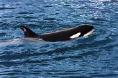 pic of orca  - A swimming Killer Whale  - JPG