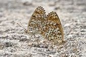 picture of copulation  - A pair of butterflies copulating with their bodies united - JPG