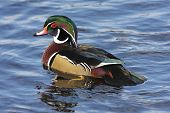stock photo of duck pond  - Male Wood Duck  - JPG