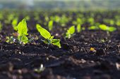 image of rich soil  - Crops planted in rich soil get ripe under the sun fast - JPG