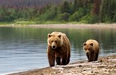 stock photo of bear-cub  - Grizzly sow with cub at dawn walking on the beach - JPG