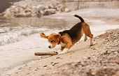 foto of puppy beagle  - Beagle puppy playing with the stick st the sea side - JPG