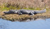 stock photo of gator  - According to Wikipedia there are only two living species of alligator - JPG
