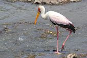 Yellow-billed Stork Fishing