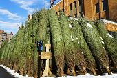 Huge Quantity Of Big Christmas Trees On The Market