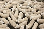 pic of sheep  - A pen full of sheep at the Feilding stockyards in New Zealand - JPG