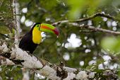 foto of toucan  - adult keel billed toucan perched on a tree in the rainforest of Belize - JPG