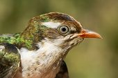 Постер, плакат: Portrait Of A Young Diederik Cuckoo chrysococcoyx Caprius