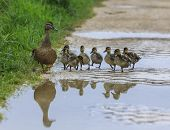 foto of duck pond  - Duck and ducklings on a path reflected in a pool of water - JPG